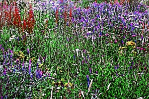 Wild flower meadow, Sidmouth